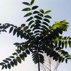 Family Simaroubaceae