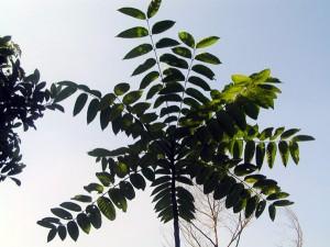 Ailanthus-triphysa