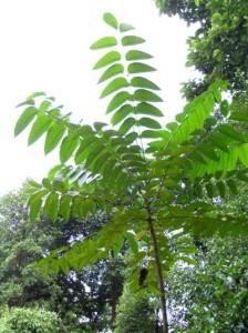 Ailanthus-triphysa2