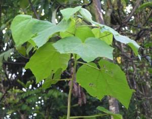 Alangium-kurzii