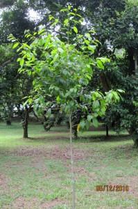 Anisoptera-marginata