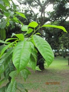 Anisoptera-marginata-leaf