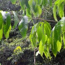 Genus Anisoptera
