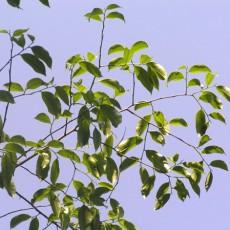 Family Thymelaeaceae