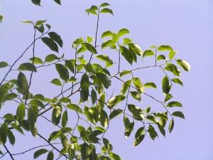 Aquilaria-malaccensis