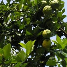 Family Rutaceae