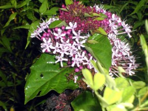 Clerodendrumbungei