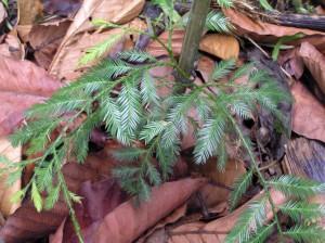 Dacrycarpus-imbricatus
