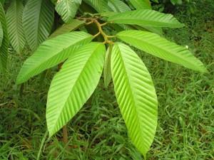 Dipterocarpus-baudii