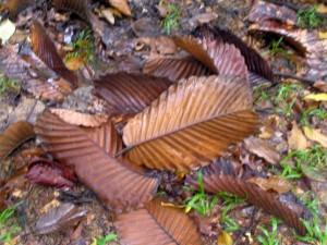 Dipterocarpus-cornutus