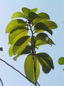 Dipterocarpus-costulatus