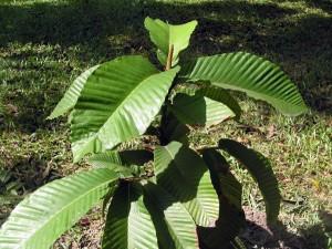 Dipterocarpus-elongatus