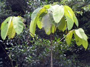 Dipterocarpus-kunstleri