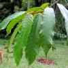 Genus Dipterocarpus