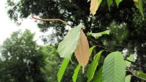 Dipterocarpus-sublamellatus-2