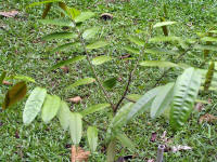 Dryobalanops-oblongifolia_small