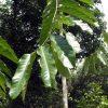 Family Putranjivaceae