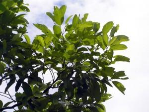 Elaeocarpus-sp
