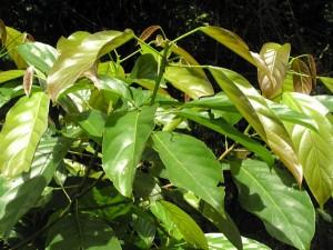 Elaeocarpus-stipularis