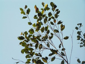 Eleocarpus-mastersii