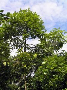 Eleocarpus-sp2