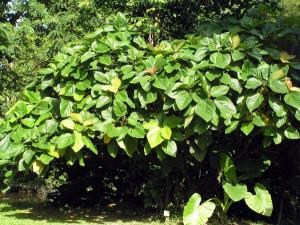 Ficus-roxburghii,-tree