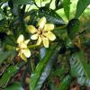 Family Rubiaceae