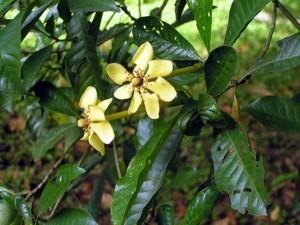 Gardenia-tubifera-flower