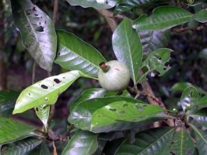 Gardenia-tubifera-fruit