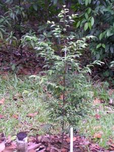Hopea-ferruginea