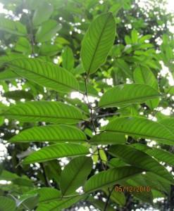 Hopea-nervosa-leaf