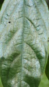 Hopea-polyalthiodes-2