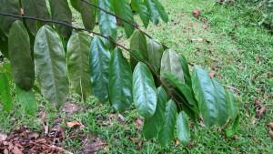 Hopea-polyalthiodes