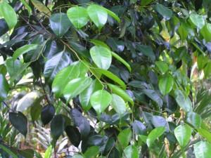 Hopea-pubescens