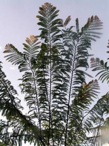 Melakatree