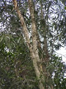 Melaleuca-cajuputi