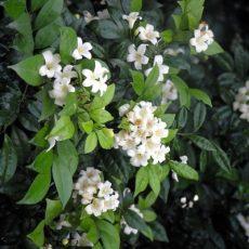 Plant Indigenous