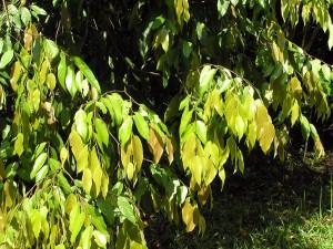 Neobalanocarpus-heimii