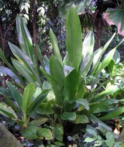 Orchidanthalongiflora