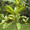 Family Sapotaceae
