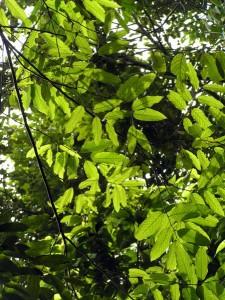 Parashorea-densiflora
