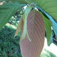 Genus Parashorea