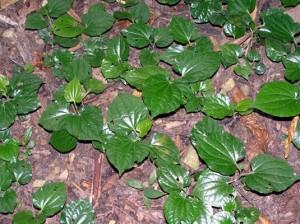 Pipersamentosum,kadok