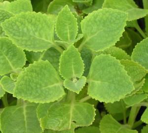 Plectranthusamboiniucus