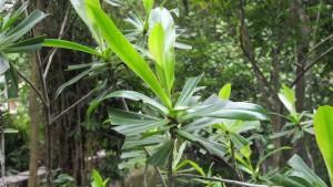 Ploiarium-alternifolium