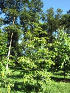 S accuminatissima Sabah