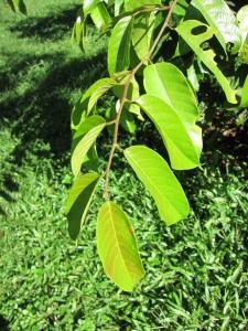 S accuminatissima Sabah leaf