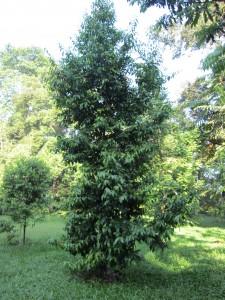 S curtisii subsp grandis ?