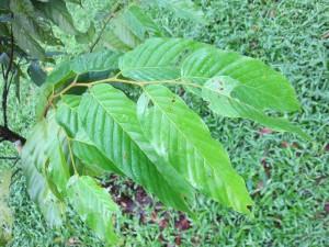 S seminis Sabah leaf