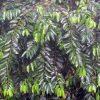 Family Olacaceae
